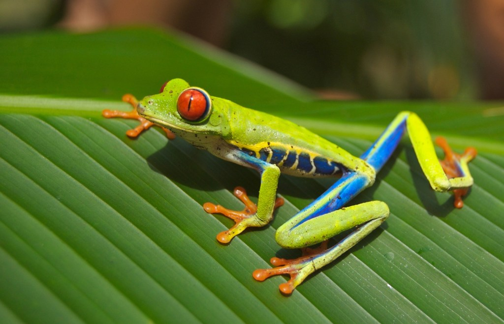 Tree frog in Costa Rica.