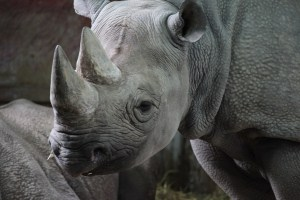 A black Rhino's horn is the object of illegal poaching.