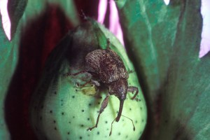 Boll Weevil pest