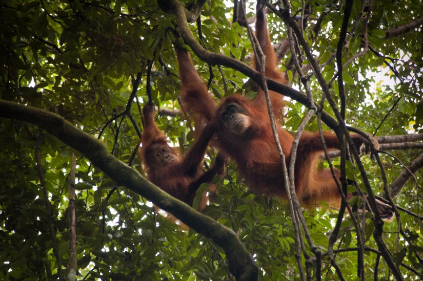Mother and baby orangutans in Gunung Leuser National Park. Photo: Jessica Barrett