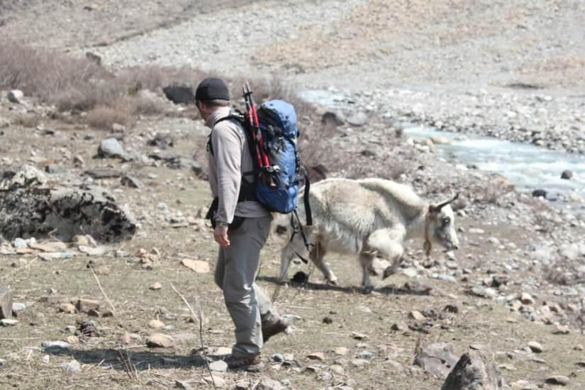 The trekker and yak right before the attack. Photo: Shreeram Thapaliya