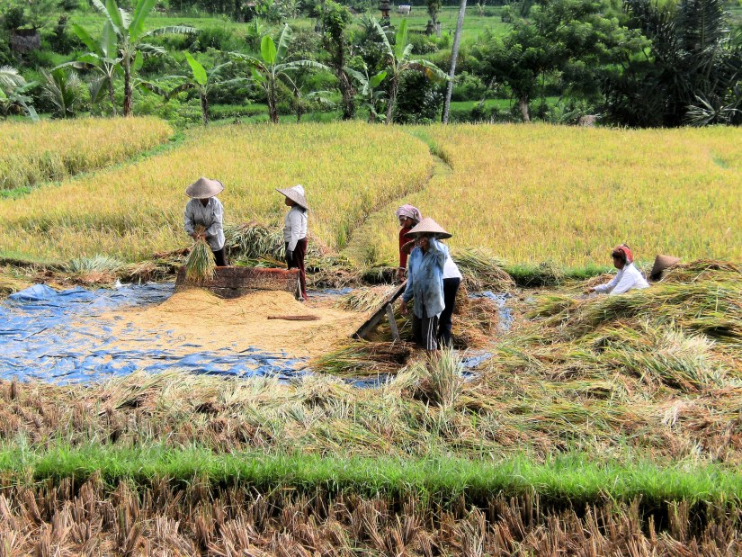 Harvesting rice in Malaysia