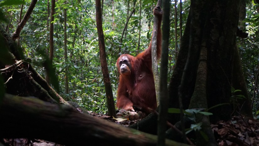 Viewing the orangutan from a safe distance of more than 10 meters. Image by Nayla Azmi.