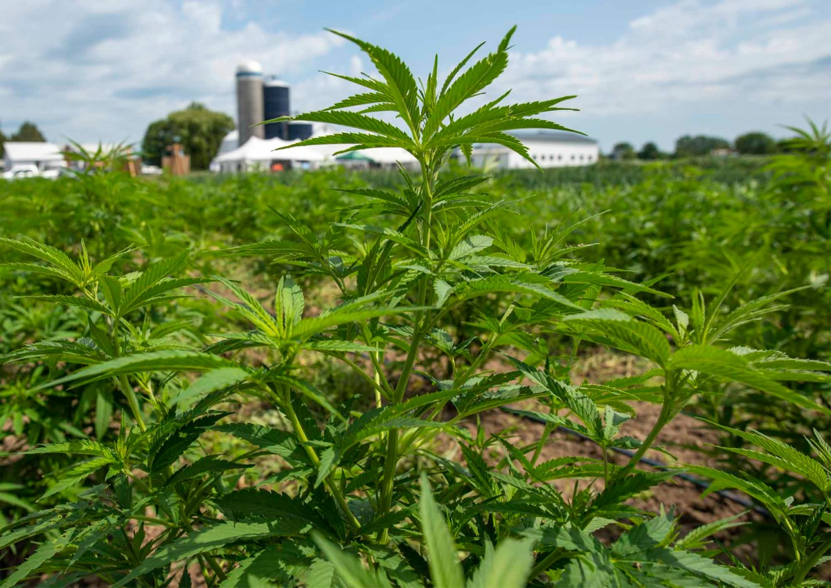 Hemp grows at the Borderview Research Farm in Alburgh on Thursday, July 25, 2019. Photo by Glenn Russell/VTDigger