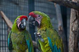 Macaw, Ara Macao-5