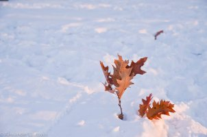 Oak Leaves under the snow