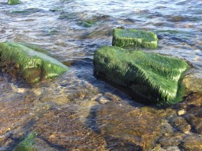 Water weeds on the stones