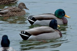 Ontario Ducks