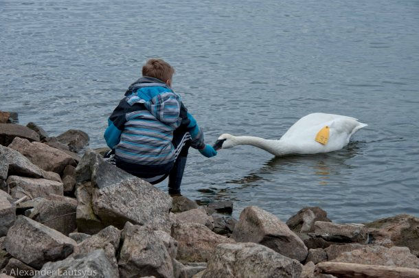 Trumpeter Swan and Boy