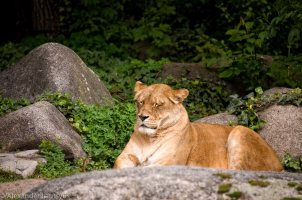 Karlsruhe Zoo, Lions and Lioness