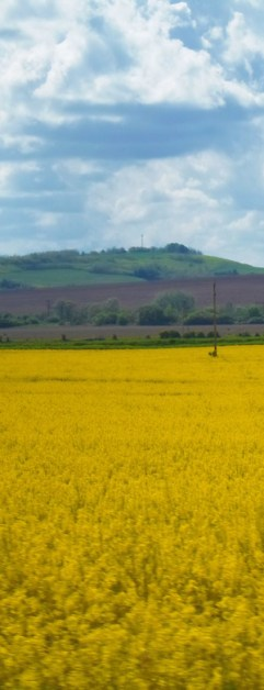 yellow+fields (1)