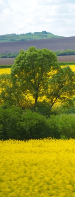 yellow+fields (2)