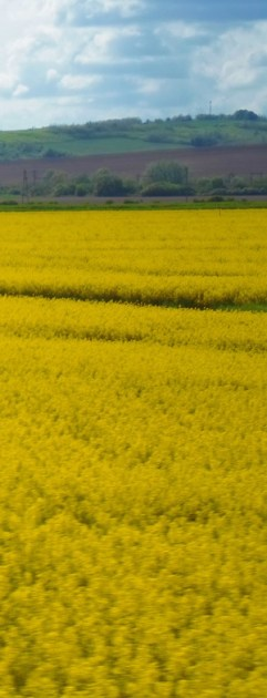 yellow+fields (3)