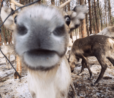 Fun fact: reindeer noses are VERY soft.