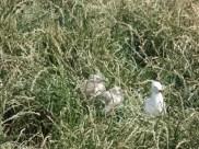 Wildlife at The Nobbies, Phillip Island