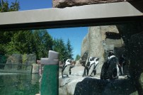 Marching with penguins at Vancouver aquarium