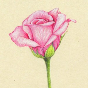 flower drawings pencil realistic flowers rose drawing pretty colored draw simple roses colourful nature pink really nice