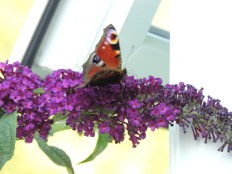 A butterfly on the budleia
