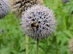 Bumble bees hard at work by Stephanie Woods