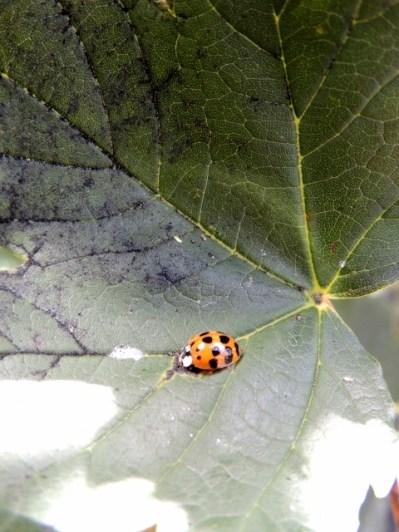 Ladybird on leaf by Stephanie Woods