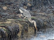 A heron, St Andrews