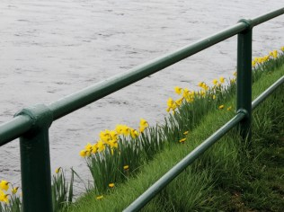 Daffodils, Inverness