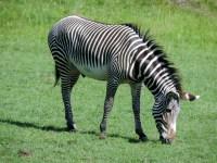 Grevey's Zebra, Edinburgh Zoo