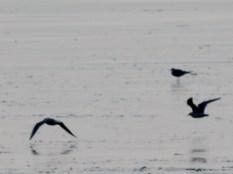 Coastal birds in the Tay