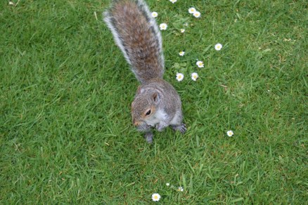 Almost tame squirrel