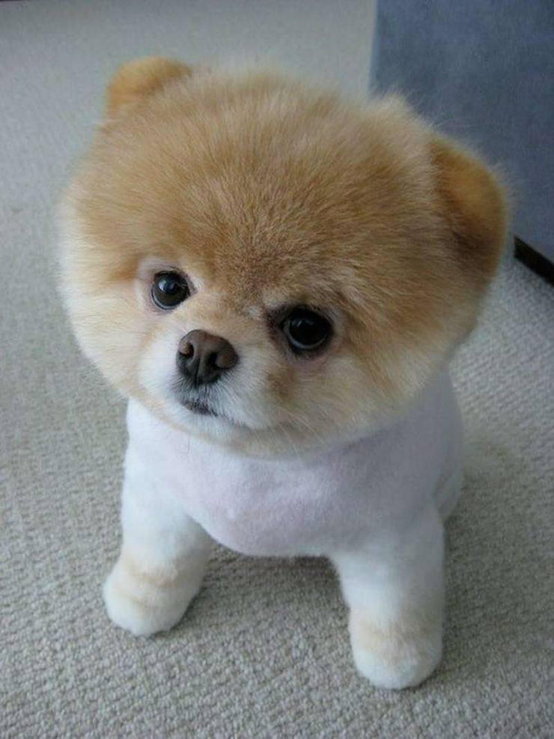 Pomeranian Cuts : pomeranian, Haircut, Inspirations, Adorable, Pomeranian