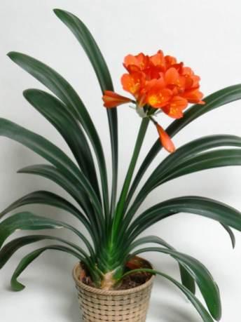 Clivia miniata  Natal Lily Bush Lily Kaffir Lily
