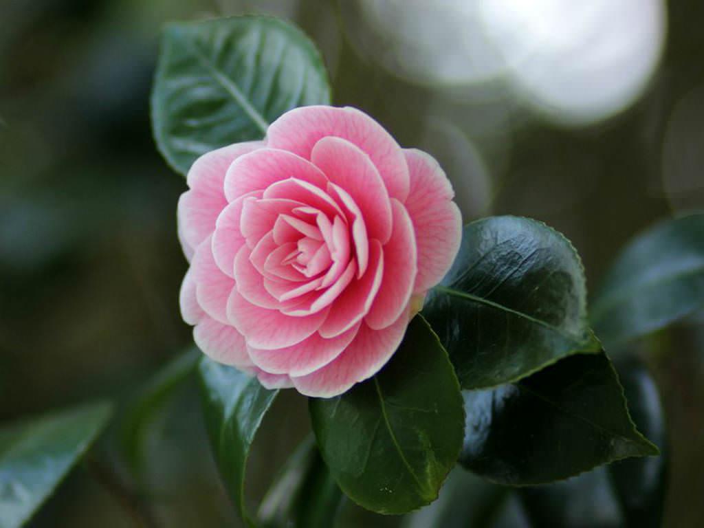 camellia japonica japanese camellia