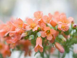 Kalanchoe delagoensis - Chandelier Plant