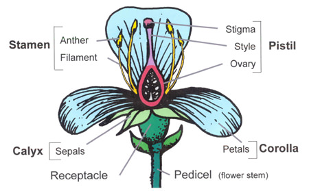 parts of a flower diagram big tex gooseneck trailer wiring structure and function world flowering plants