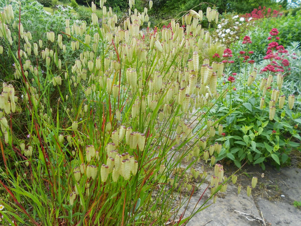 How To Grow And Care For Quaking Grass Briza World Of