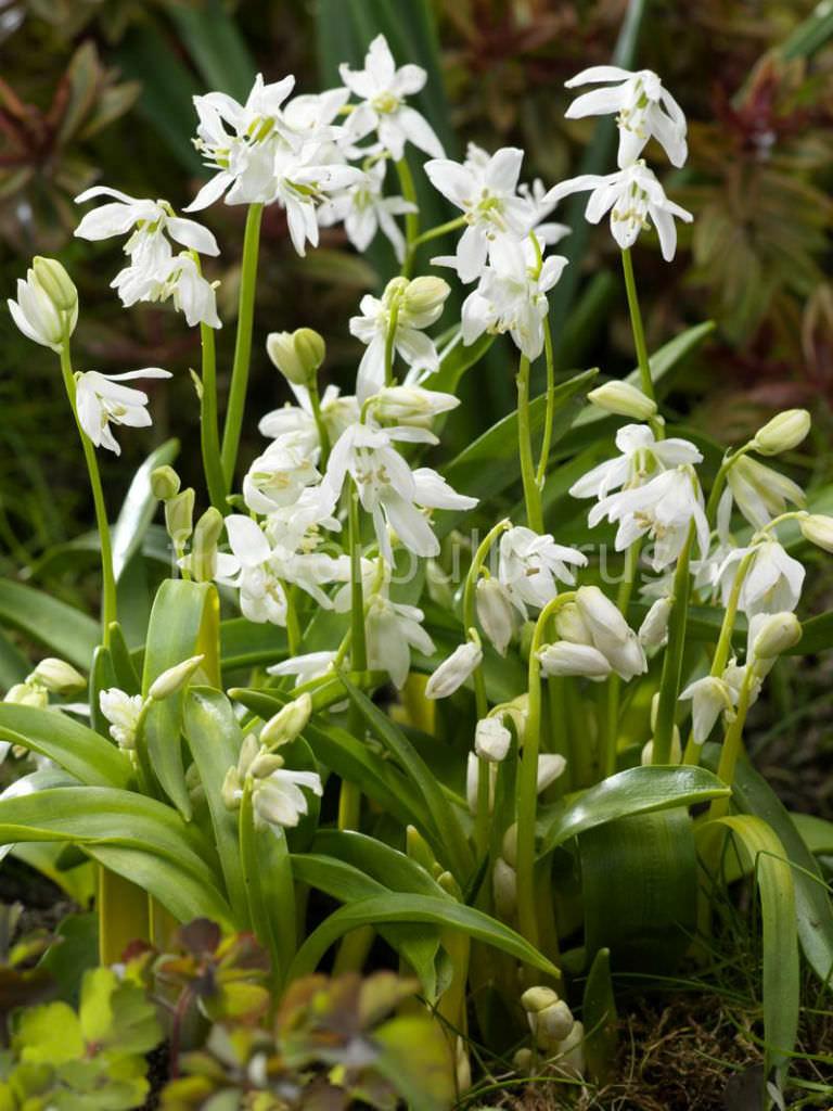 White Trumpet Flower Vine