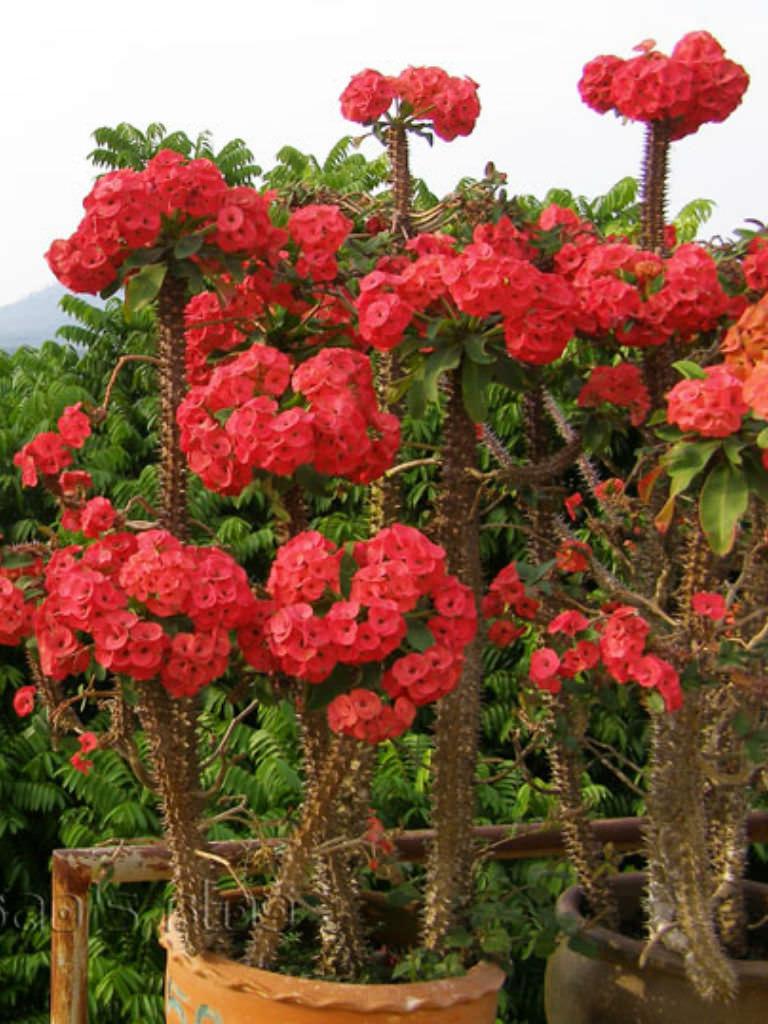 Euphorbia milii (Crown of Thorns) | World of Flowering Plants