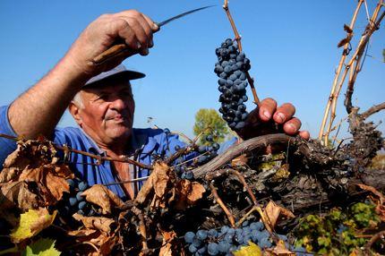 Grape harvast near Plovdiv, Bulgaria
