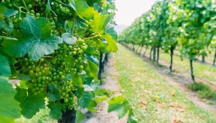 Sauvignon Blanc grapes in Marlborough Vineyard, New Zealand