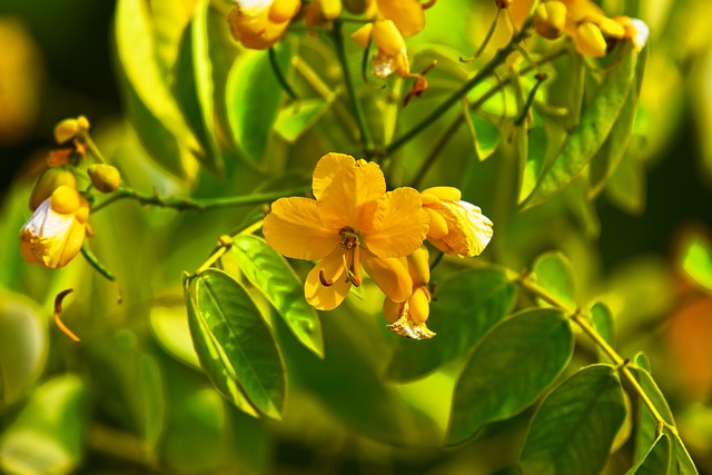 Senna leaf with flower