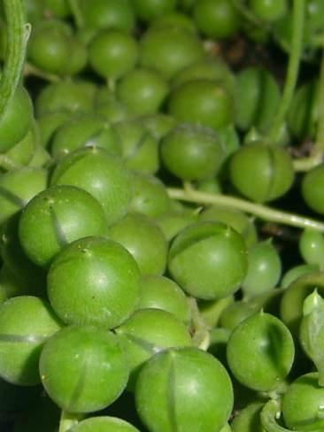 String Pearls Plant