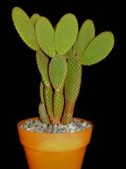 Opuntia microdasys subsp rufida  Cinnamon Bunny Ears  World of Succulents