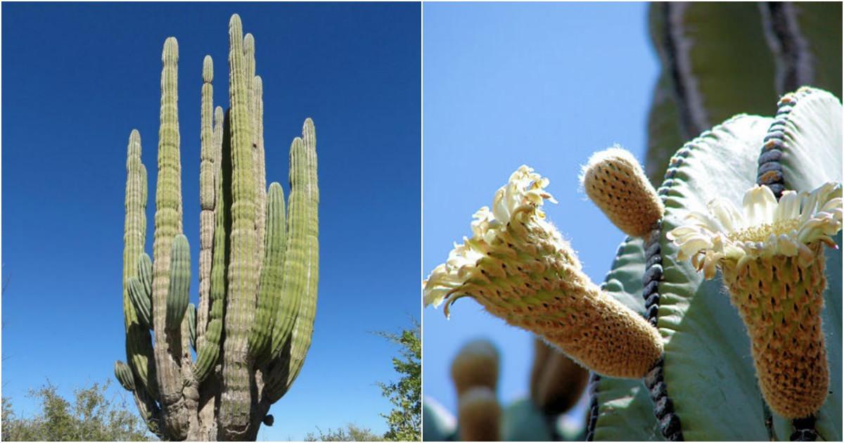 Pachycereus pringlei Mexican Giant Cardon  World of