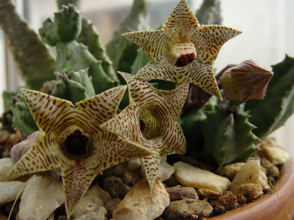 Huernia thuretii  World of Succulents