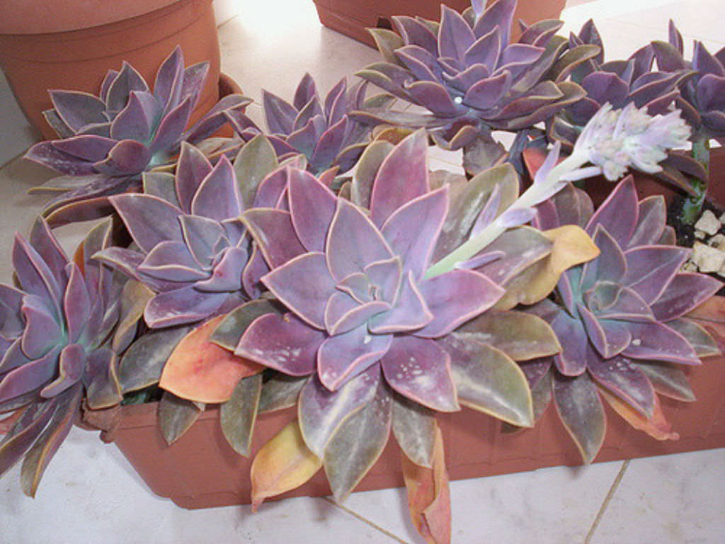 Graptoveria Fred Ives  World of Succulents