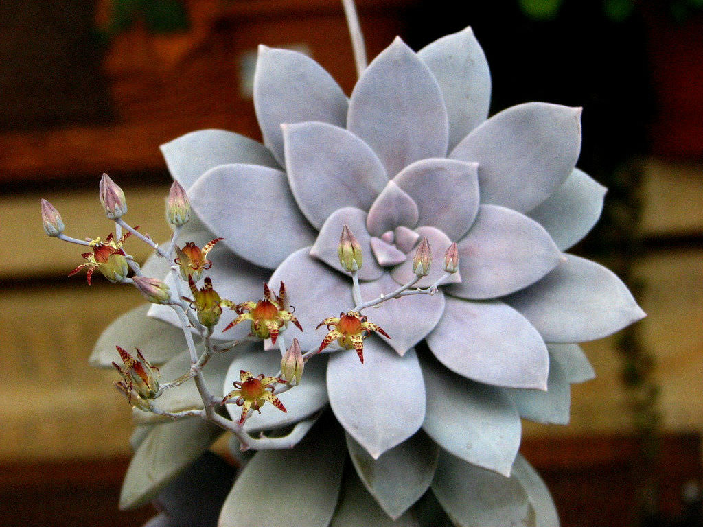 Graptopetalum superbum Beautiful Graptopetalum  World of Succulents