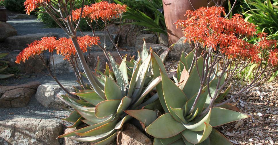 Aloe striata  Coral Aloe  World of Succulents