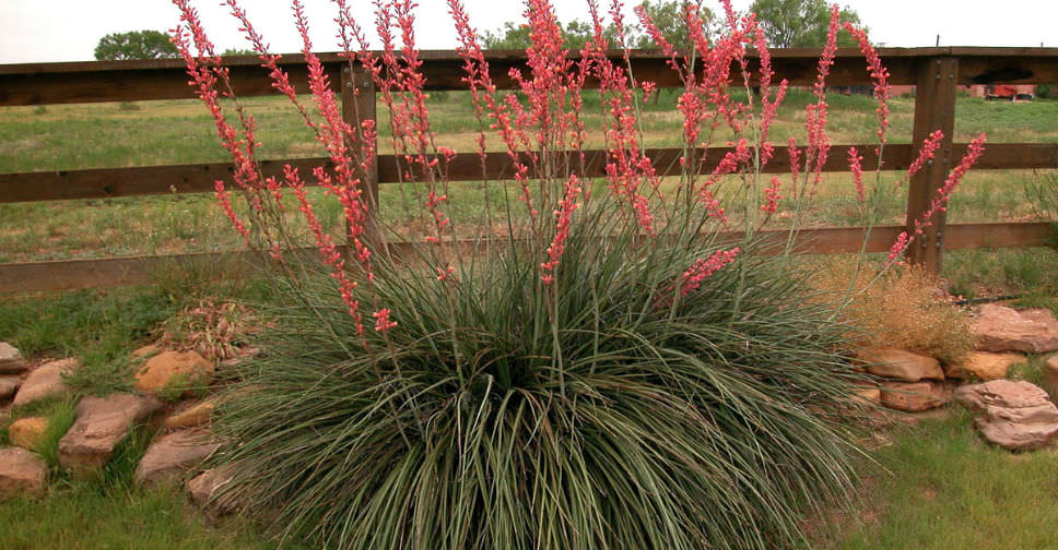 Hesperaloe parviflora Red Yucca  World of Succulents