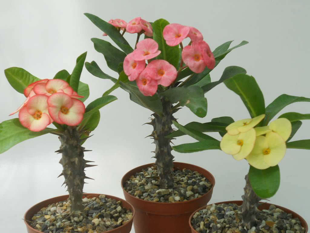 5 Secrets to Get a Crown of Thorns to Bloom | World of Succulents
