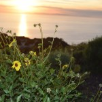 Daisy in the sunset12